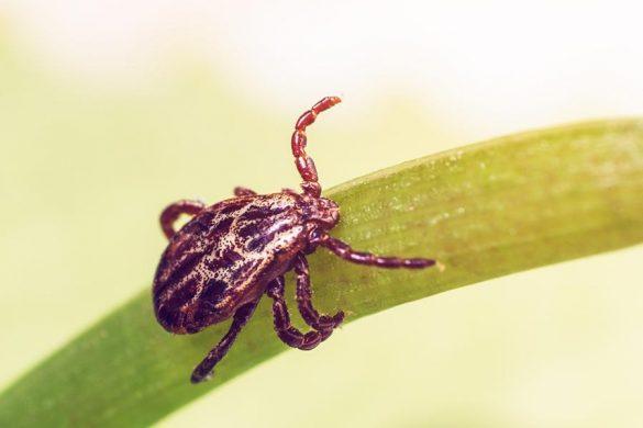 Wychodząc do lasu warto pomyśleć o zabezpieczeniu się przed kleszczami przenoszącymi groźne choroby, takie jak borelioza.